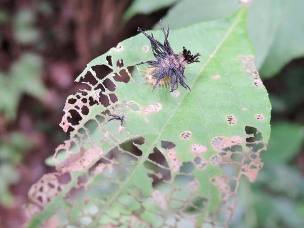 イチモンジカメノコハムシ幼虫