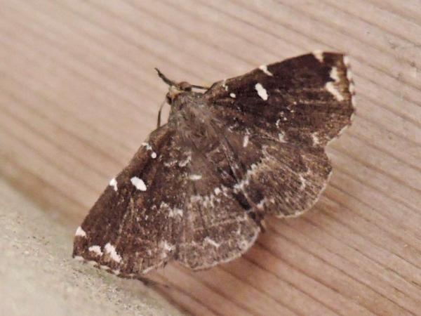 シラナミクロアツバ