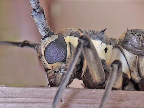 シロスジカミキリの複眼