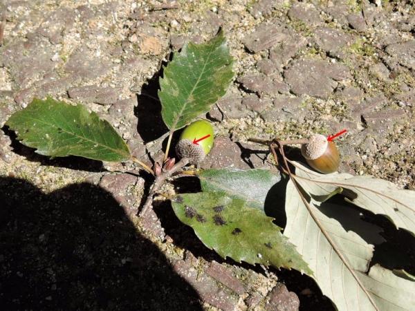 ハイイロチョッキリに切り落とされたコナラの小枝と穴