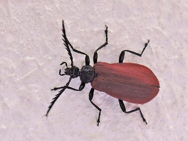 アカハネムシ科の昆虫
