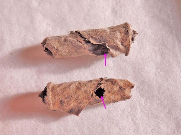 ウスモンオトシブミの羽化後揺籃