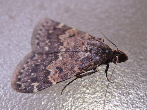 ヒロオビウスグロアツバ