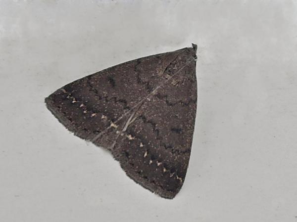 ヒゲブトクロアツバ