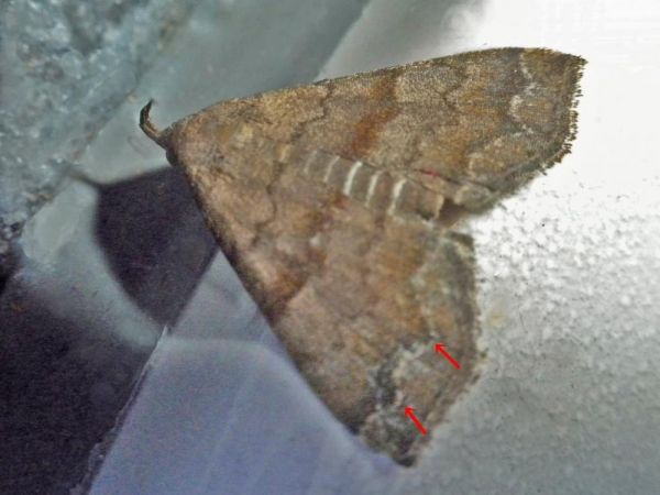 オオシラナミアツバ