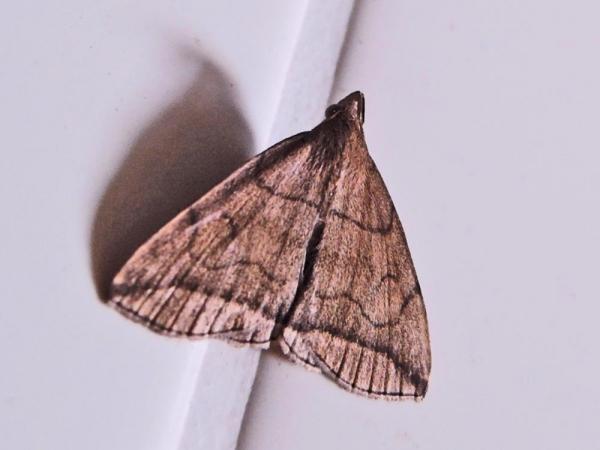 ヒメツマオビアツバ