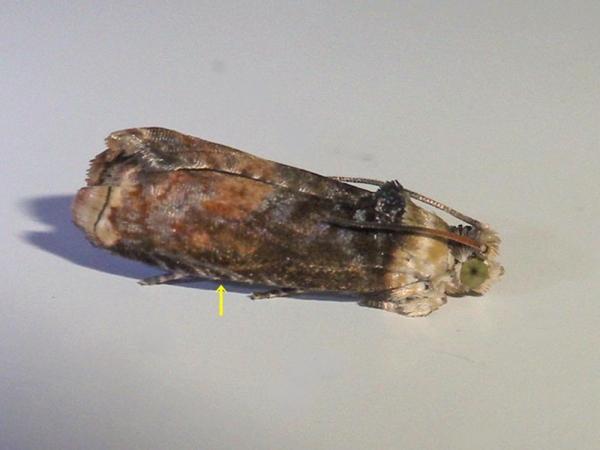 カタシロムラサキヒメハマキ