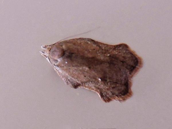 ネズミエグリヒラタマルハキバガ