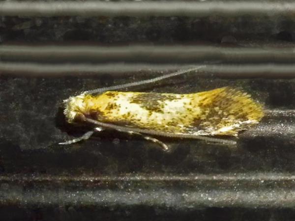クロモンチビヒロズコガ