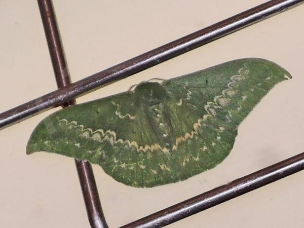 カギバアオシャク