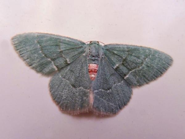 ホソバハラアカアオシャク