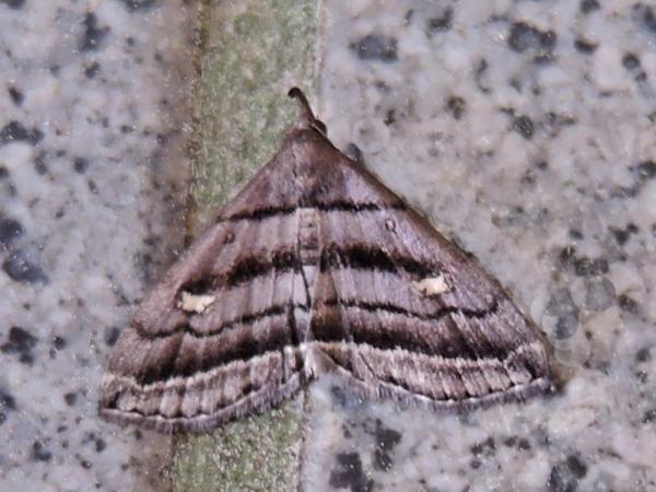 シロテンムラサキアツバ