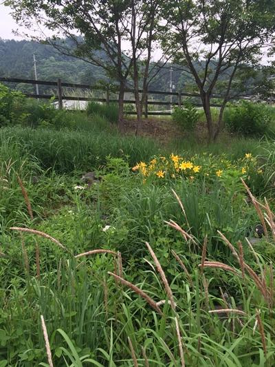 ローザンベリー山野草