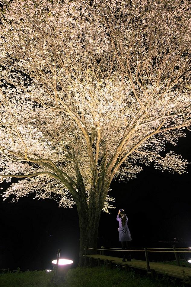 201644月光桜と女性