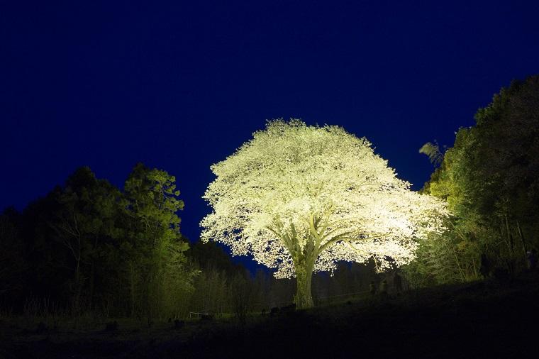 201644月光桜ライトアップ2