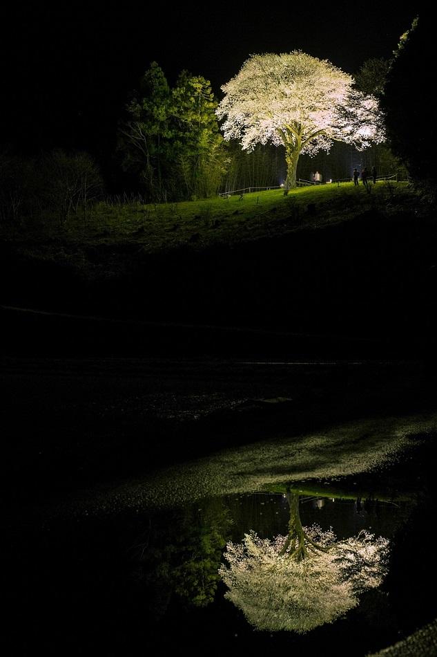 201644月光桜映り込み