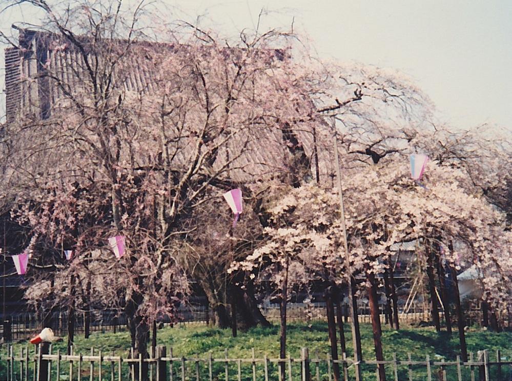 1988_04_般若院桜2