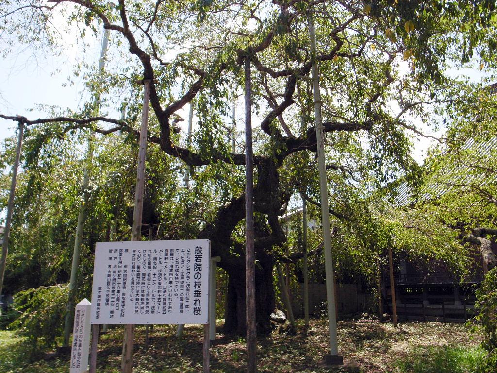 般若院枝垂れ桜3