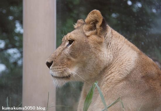 ライオン_1171
