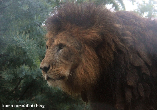 ライオン_1176
