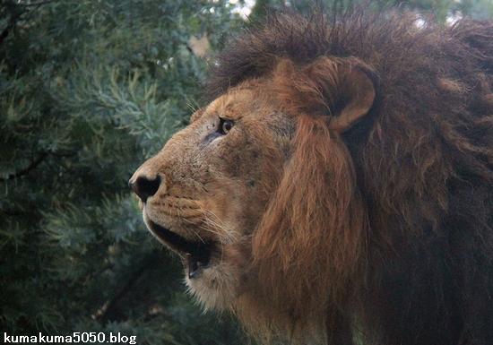 ライオン_1177