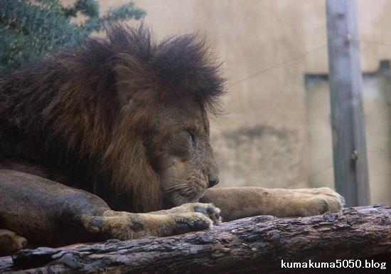 ライオン_1178