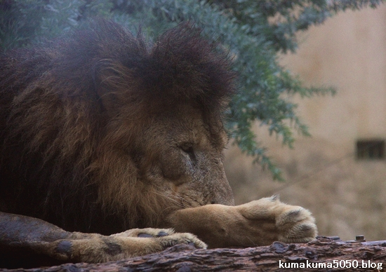 ライオン_1179