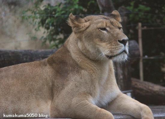 ライオン_1183