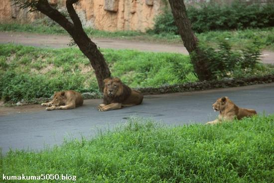 ライオン_1196
