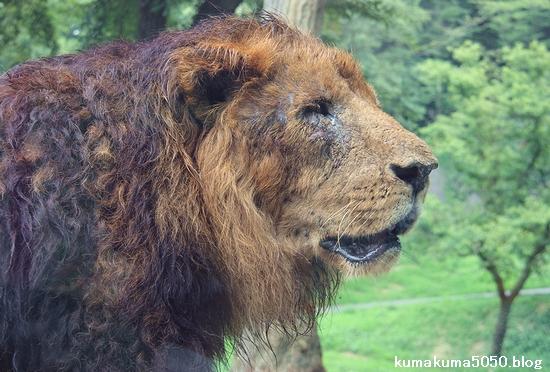 ライオン_1199