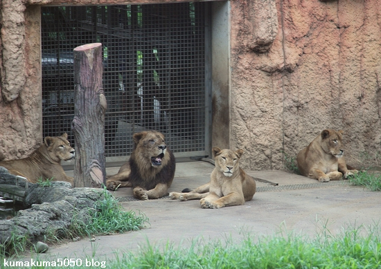 ライオン_1201