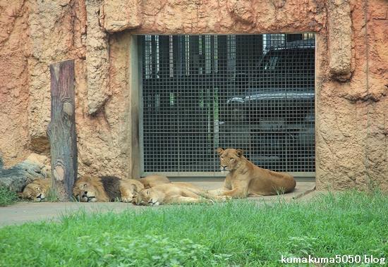 ライオン_1232