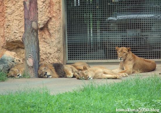 ライオン_1233