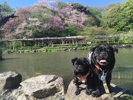 藤棚と山桜と・・・