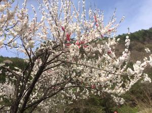 黒川の花桃