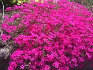 黒川の芝桜