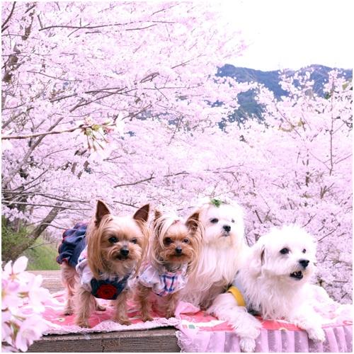 桜と4ワン