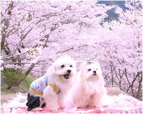 桜と春ふー