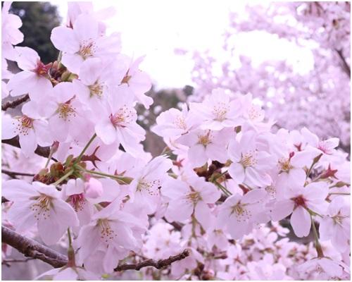 道路わきの桜