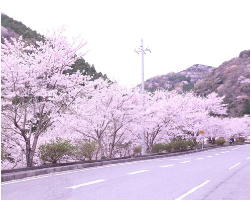 道路わきの桜を