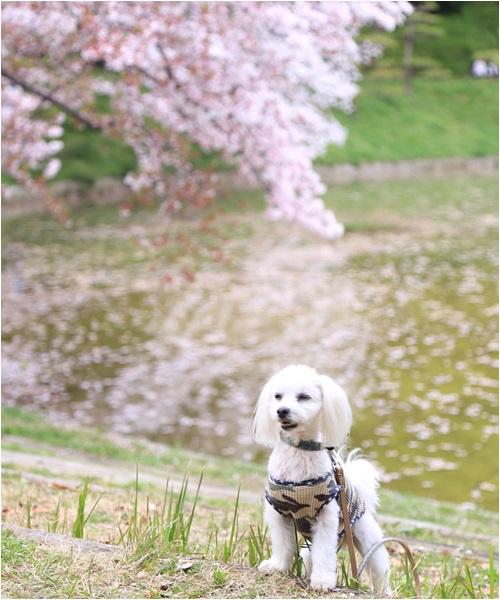 桜とくっきー