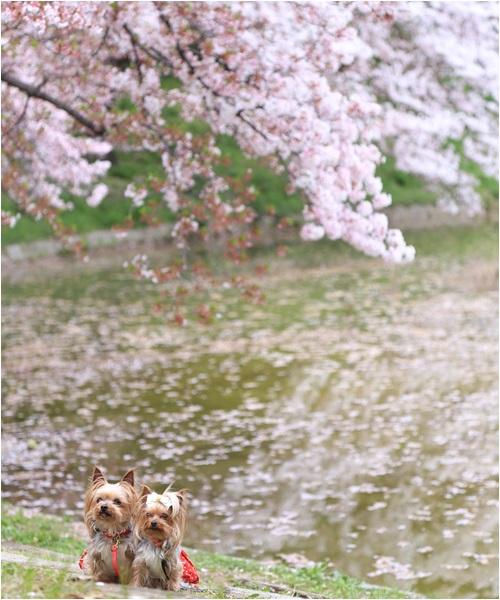 桜とクルココ