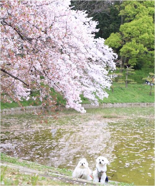 桜とはるふー