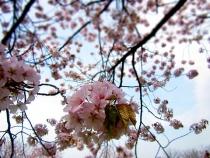 2016花見も