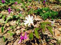 カタクリ原生花園