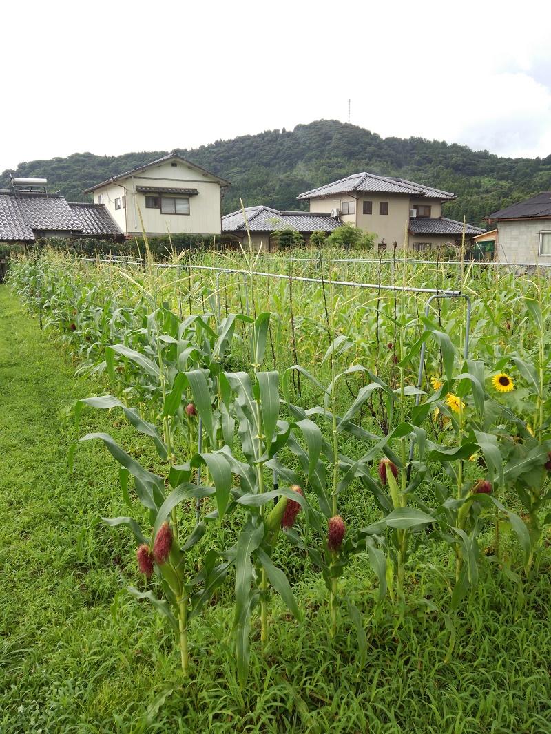 トウモロコシ160712-2