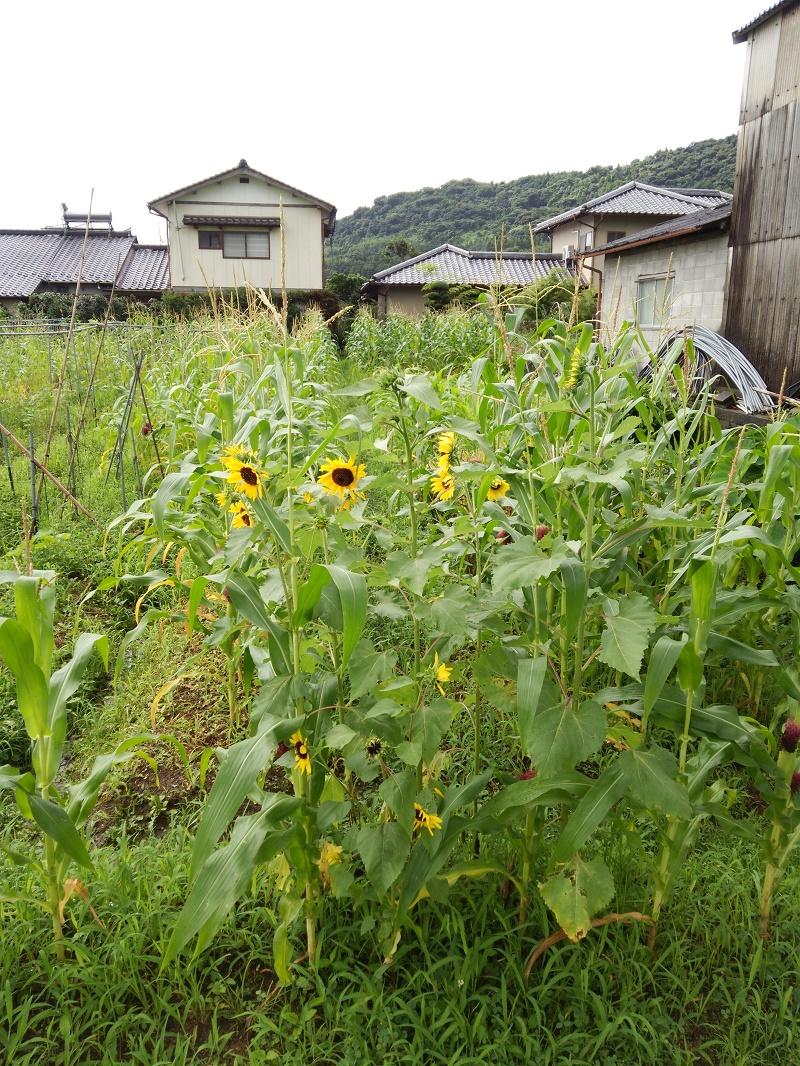 トウモロコシ160712-1