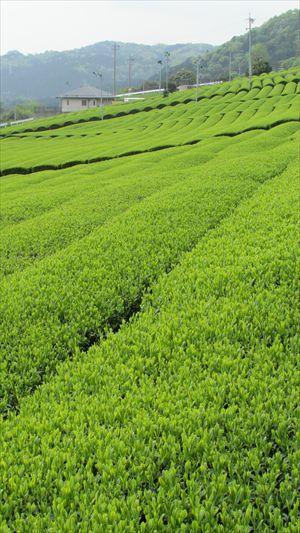 お茶畑 (4)_R