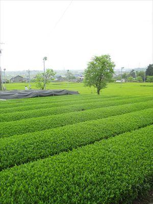 20160425新茶手摘み 005_R
