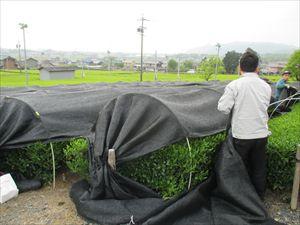 20160425新茶手摘み 002_R